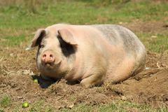 lazy sow laying down on muddy meadow - stock photo