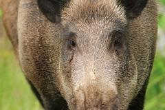 Wild boar portrait while looking at the camera ( Sus scrofa ) Stock Photos