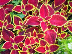 Red Coleus plants closeup on a flower bed - stock photo