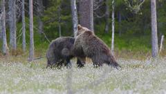 Fighting Brown Bears slow motion Stock Footage