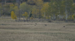 Grizzly Family Walks Across Mountain Meadow Aspens Stock Footage