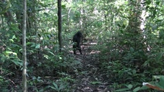 Black Crested Macaque displaying dominant behavior and show teeth Stock Footage