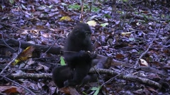 Black Crested Macaque feeding on rainforest floor and walk away 1 Stock Footage