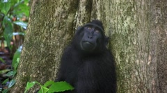 Black Crested Macaque feeding on rainforest floor 2 Stock Footage