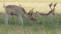 Fallow Deer stag grazing - stock footage