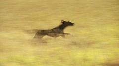 Dog running in grassland of Motherwell Ranch Stock Footage