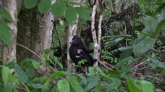 Stock Video Footage of Black Crested Macaque female sit with baby in tree 5
