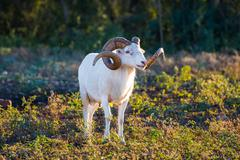 Texas Dall Sheep Ram standing tall looking to the right - stock photo