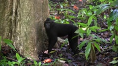 Black Crested Macaque forage on rainforest floor 1 Stock Footage
