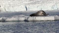 Leopard Seal float on an Iceberg Stock Footage