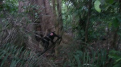 Black Crested Macaque goup climbing down from sleeping tree early in the morn Stock Footage