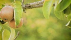 Pears on a Tree Stock Footage