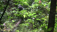 Stock Video Footage of Black Crested Macaque group moving on forest floor 10