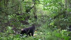 Black Crested Macaque group moving on forest floor 7 Stock Footage