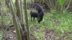 Stock Video Footage of Black Crested Macaque mating 1