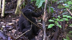 Black Crested Macaque rip of bark and eat it 2 Stock Footage