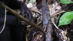 Black Crested Macaque rip of bark and eat it 3 Stock Footage