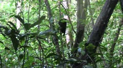 Black Crested Macaque youngster climb tree 1 Stock Footage