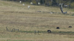 Grizzly Family Walks In front of several cows in Aspen Stock Footage