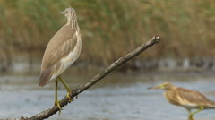 Squacco Heron fishing in the Shallows of the pond, Ardeola ralloides Stock Footage