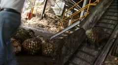 Agave hearts move up a conveyor belt at a distillery - stock footage