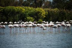 Pink Flamingo (Phoenicopterus ruber) in Camargue, France - stock photo