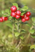 Lingonberry on a bush in the woods Stock Photos