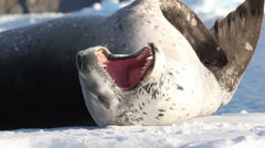 Leopard Seal float on an Iceberg Stock Footage