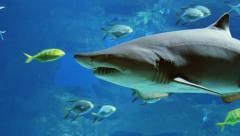 Great White Shark Underwater - stock footage