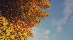 Autumn red and yellow leaves with toning effect Stock Footage