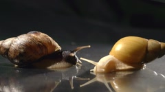 African giant snail Achatina. Full HD 1080p. Timelapse Stock Footage