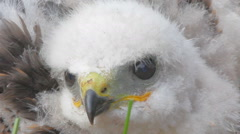 Look into the eyes of predator. Portrait of Rough-legged Buzzard chick closeup Stock Footage