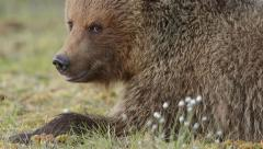 Detailed view of Brown Bears head chewing super slow motion Stock Footage