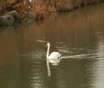 Swan in the pond. Stock Footage