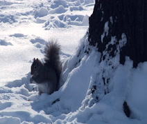 Squirrel in the winter park Stock Footage