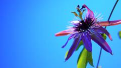 Passiflora flower beautiful blossoms on a blue background. time lapse Stock Footage