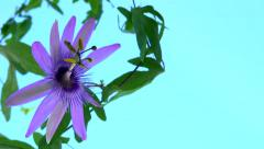 passiflora. timelapse of flower blooming on blue background - stock footage