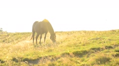 Brown horse grazes on pasture in late summer with back lighting Stock Footage