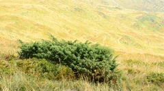 Green juniper blown by wind on background of yellow hills Stock Footage