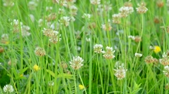 Meadow with green grass and white clover and yellow flowers Stock Footage