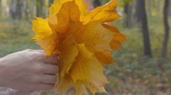 Yellow maple leaves are sorted out in the hands of Stock Footage