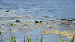 Yellow water-lilies on water surface with grass in foreground Stock Footage