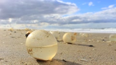 Giant Gastropod Egg Capsules on the beach of Cabo Polonio Stock Footage