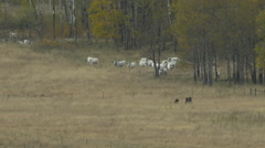 Cattle Watching Grizzly Family Stock Footage