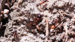 black and red ants, normal and speed-up shots - stock footage