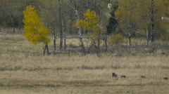 Sow with Three Cubs Among Aspen Stock Footage