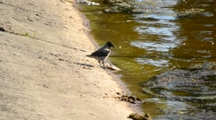 Grey crow eats dead fish on shore and walks away out of frame Stock Footage