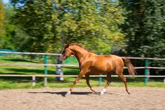 Horse running at the paddock Stock Photos