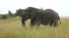 Elephant walking tight shot - stock footage