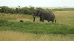 Elephant walking Kenya - stock footage